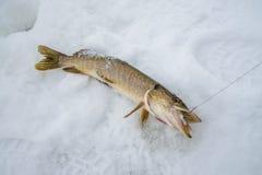 Właśnie złapana szczupak dymówka ryba, lodowy zima połów dla żywego popasu Zdjęcie Royalty Free