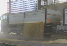 Właśnie zbierająca kukurudza wśrodku przyczepy Groszkuje polanego od ciężarówki - ciężarówka w silos dla przetwarzać Zdjęcia Royalty Free