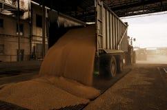 Właśnie zbierająca kukurudza wśrodku przyczepy Groszkuje polanego od przyczepy w silos dla przetwarzać Obraz Royalty Free