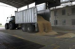 Właśnie zbierająca kukurudza wśrodku przyczepy Groszkuje polanego od przyczepy w silos dla przetwarzać Fotografia Royalty Free