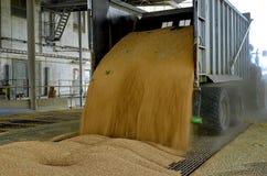 Właśnie zbierająca kukurudza wśrodku przyczepy Groszkuje polanego od przyczepy w silos dla przetwarzać Obraz Stock