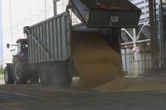 Właśnie zbierająca kukurudza wśrodku przyczepy Groszkuje polanego od przyczepy w silos dla przetwarzać Zdjęcia Royalty Free