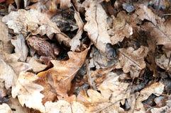 Włochy, żaba chuje w suchych liściach porośle obrazy royalty free