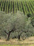 Włochy, drzewo oliwne w Tuscany Fotografia Stock