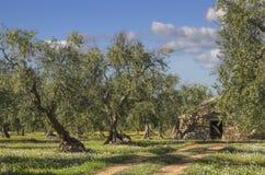Włochy krajobraz: Apulia wieś Kwiaciasty pole z drzewami oliwnymi i trullo fotografia royalty free