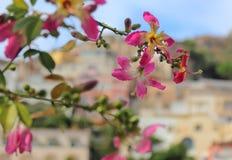 Włochy Positano - widok różowi kwiaty jedwabniczy floss drzewo Obrazy Royalty Free