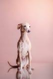Włoska charcica na koloru tle w studiu fotografia royalty free