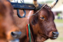 Włoska czerwona krowa w wiejskim gospodarstwie rolnym, jarzmo woły w organicznie uprawiać ziemię Obrazy Stock