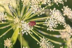 Włoska Pasiasta pluskwa na roślinie od pietruszek umbellifers lub rodziny zdjęcia royalty free