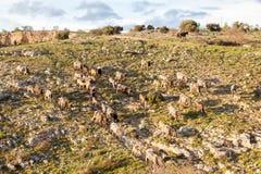 Włoski bydła stado Zdjęcie Stock