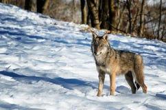 Włoski wilczy canis lupus italicus fotografia stock