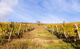 Włoski winnica fotografia royalty free