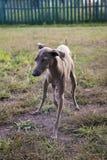 Włoskiej charcicy psi bawić się na gazonie Fotografia Royalty Free