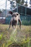 Włoskiej charcicy psi bawić się na gazonie Fotografia Stock