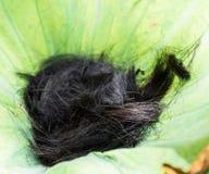 Włosy w lotosie zdjęcie royalty free