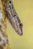 Włoszczyzny Ścienna jaszczurka Patrzeje od drzewa (Podarci siculus) Fotografia Royalty Free