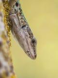 Włoszczyzny Ścienna jaszczurka Patrzeje w dół od drzewa (Podarci siculus) Fotografia Royalty Free