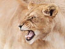 Wściekła lwica obrazy stock