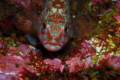 Wściekła przyglądająca ryba (Serranus cabrilla) Obraz Stock