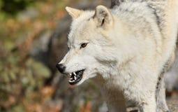 wściekły arktyczny wilk Fotografia Stock