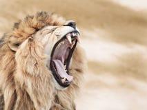 Wściekły lew obrazy stock