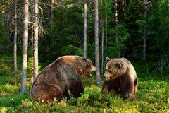 wściekły niedźwiedź Agresywny niedźwiedź Niedźwiadkowa walka Fotografia Royalty Free