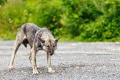 Wściekły pies obrazy royalty free
