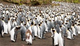 wśród królewiątko pingwinu dorastający dorosli Fotografia Royalty Free