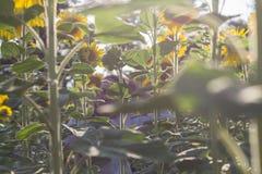 Wśród słoneczników fotografia stock