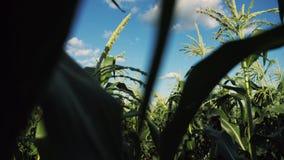 Wśrodku dojrzałego kukurydzanego pola Steadicam zwolnionego tempa wideo zbiory wideo