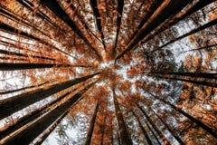 Wśrodku lasowego oddolnego widoku w jesień czasie z Cyprysowymi drzewami zdjęcia stock