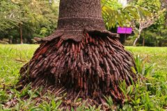 Włókiennego korzenia systemy drzewko palmowe Obraz Stock