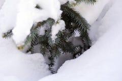 W śniegu błękitna świerczyna w drewnach, puszysty śnieg na świerkowych gałąź tło szczegółów tekstury okno stary drewniane Zdjęcie Stock