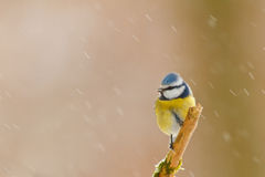 W śniegu błękitny tit Zdjęcia Stock