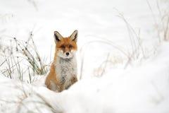 W śniegu czerwony lis Obraz Royalty Free