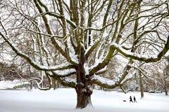 W śniegu potężny stary drzewo. Obrazy Stock