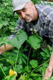 W średnim wieku mężczyzna w jarzynowym ogródzie Zdjęcie Stock