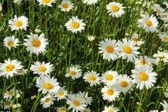 W świetle słonecznym biały stokrotki zdjęcia stock
