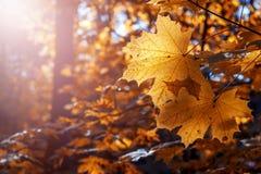 W świetle słonecznym jesień liść klonowy obraz stock