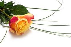 与弯曲草的黄色红色玫瑰隔绝与在w的阴影 库存图片