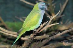 Władyka derby ` s parakeet Fotografia Stock