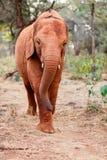 W Afryka dziki słoń Obrazy Royalty Free