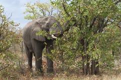 W Afryka dziki słoń Obraz Royalty Free