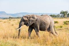 W Afryka dziki słoń Zdjęcie Royalty Free
