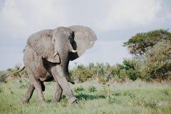 W Afryka dziki słoń Obrazy Stock