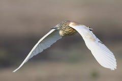W Afryka Poludniowa Czapli Squacco latanie Fotografia Stock