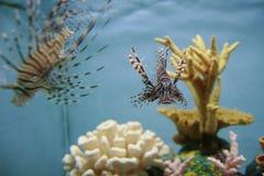 W akwarium dwa lionfishes Fotografia Royalty Free