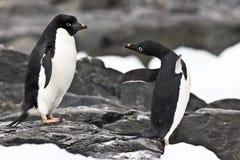 W Antarctica Adelie pingwiny Fotografia Stock