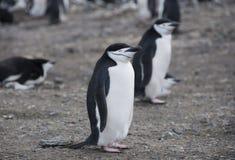 W Antarctica Chinstrap pingwiny Zdjęcia Royalty Free