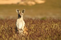 W Australijskim odludziu śliczny Kangur obrazy stock